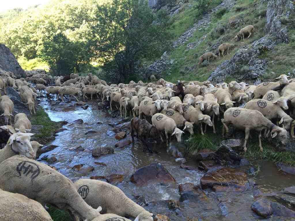 Ovejas merinas trashumantes con perro pastor en los pastos de verano junto al arroyo en los montes