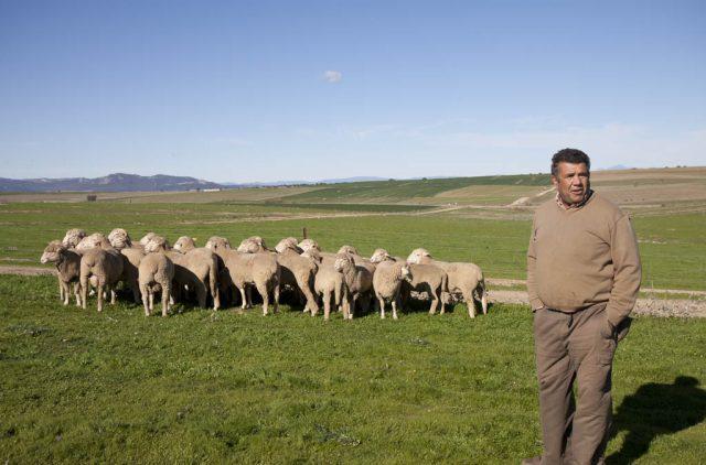 ovejas-trashumantes-de-lorenzo-en-los-patos-de-invierno-trazabilidad-made-in-slow