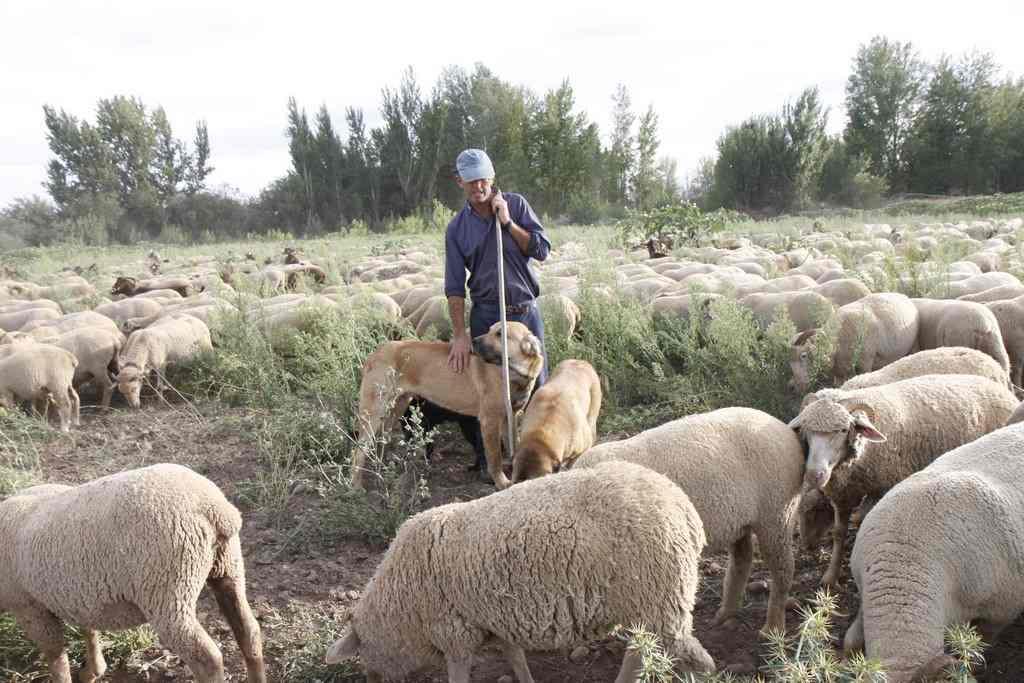 Manuel Moran-pastor trashumante- junto a sus ovejas merinas y mastines en los pastos